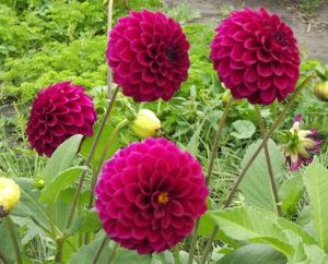 Красные однолетние астры - фотография цветов.