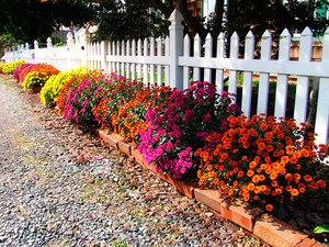 Выращивание хризантем в домашних условиях