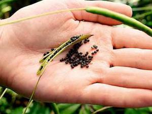 Клеома выращивание из семян