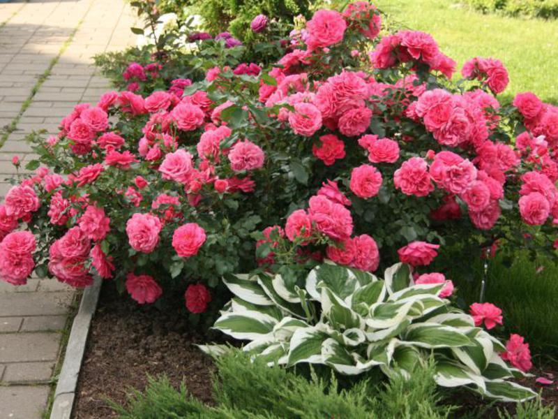 Удобрения для плетистых роз