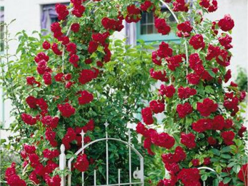 Окрас плетистых роз