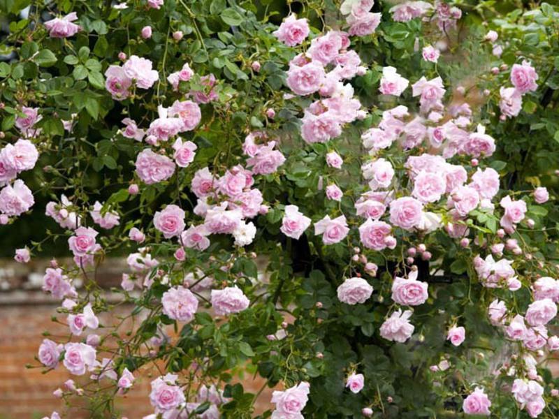Как и где посадить розы