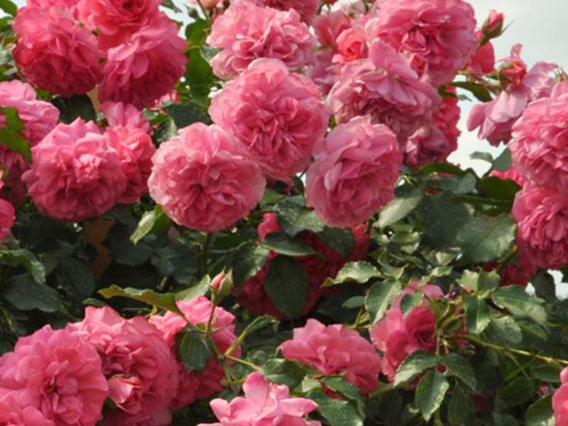 Как поливать плетистые розы