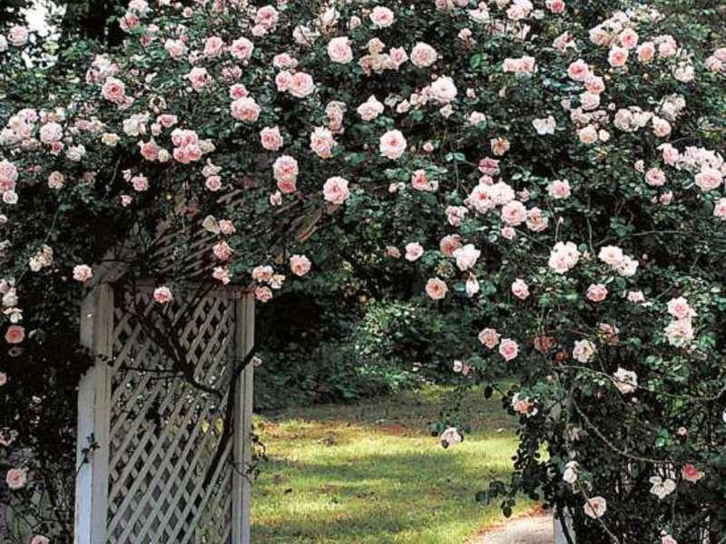 Особенности выращивания плетистых роз
