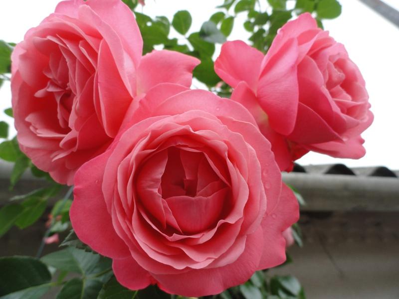Сорт садовых роз