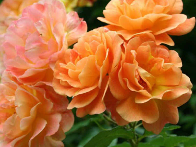 Место для посадки плетистых роз
