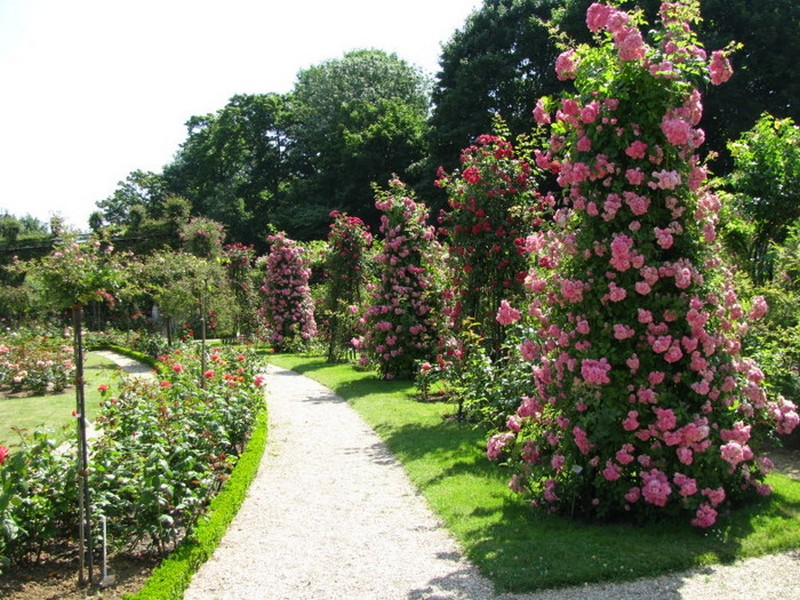 Как растут плетистые розы