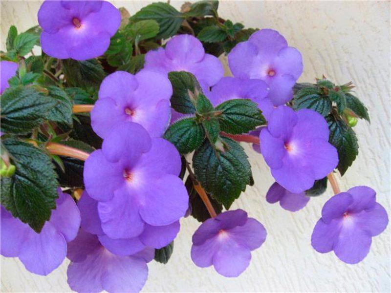 Цветок ахименес посадка и уход