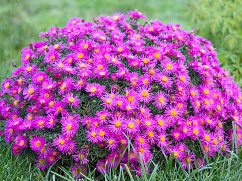 бордюрные растения многолетние низкорослые фото