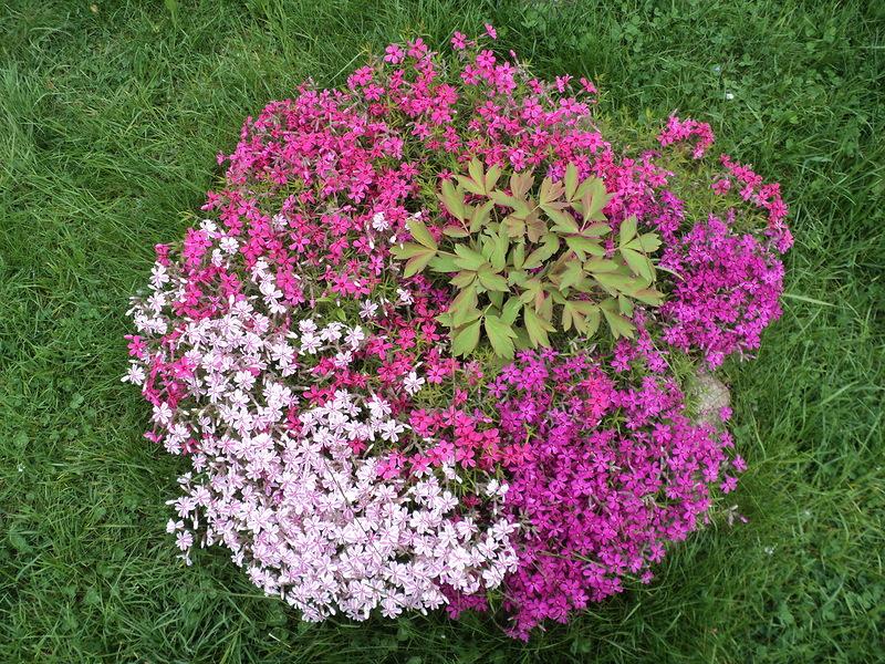 Фото и название цветов для альпийских горок многолетние