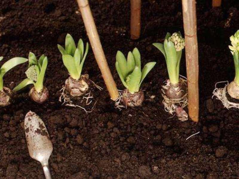 Как ухаживать за луковичными в домашних условиях