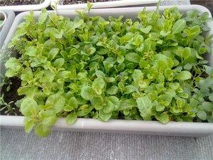 Наперстянка многолетняя выращивание из семян