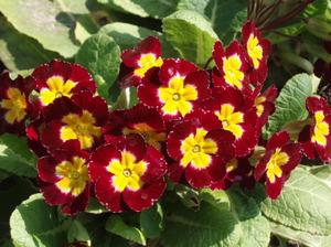 Цветок примула садовая многолетняя: фото, описание, как