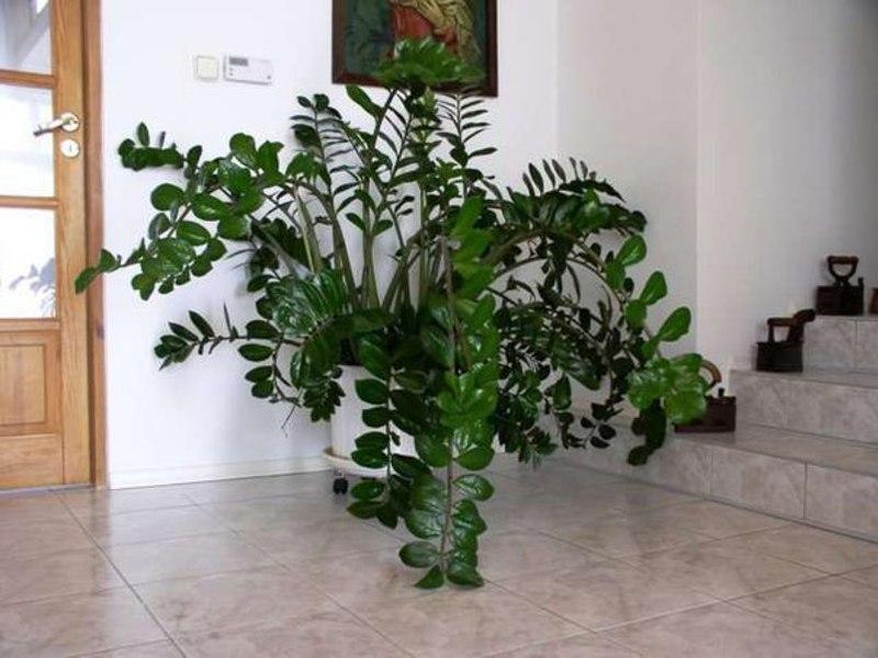 как цветет замиокулькас в домашних условиях фото