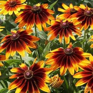 Садовый цветок рудбекия