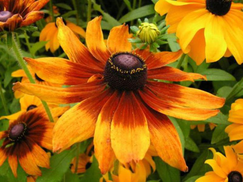 Способы защиты от вредителей растение рудбекию