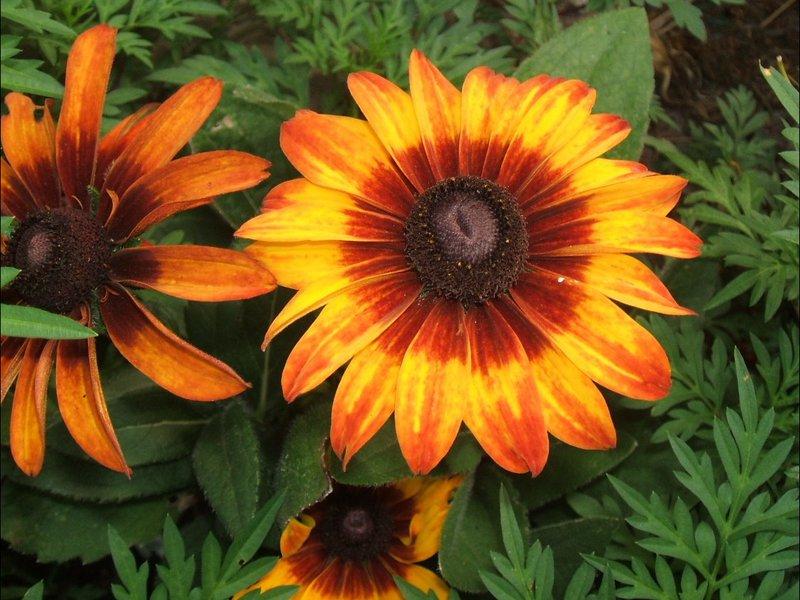 Особенности растения рудбекия