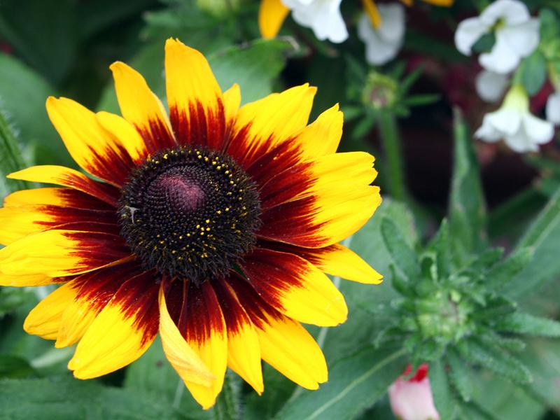Как выглядит цветок рудбекия