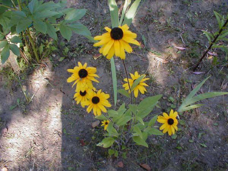 Рудбекия однолетняя - выращивание из семян.