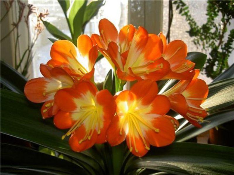 Выращивание кливии в домашних условиях
