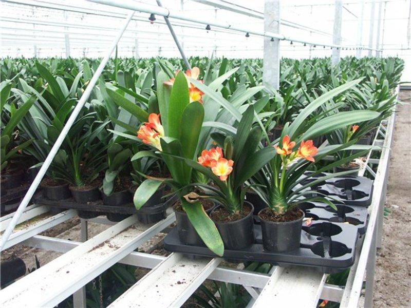 Выращивание кливии в домашних условиях 842