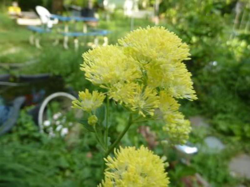 Цветы василистника