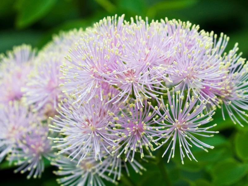 Период цветения многолетнего василистника