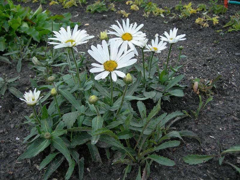 Нивяник цветов леукантемум