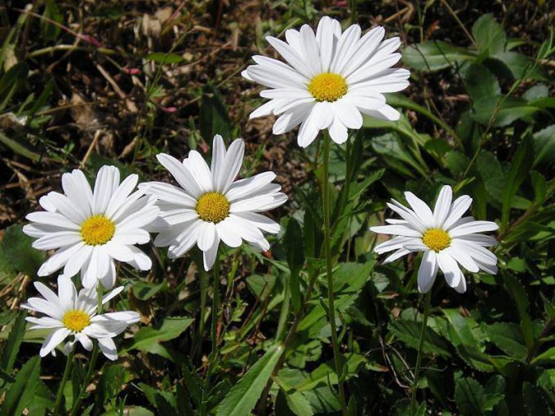Нивяник цветов леукантемум 80