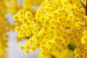 Цветы мимозы фото