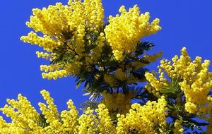 Как выглядит мимоза фото цветок
