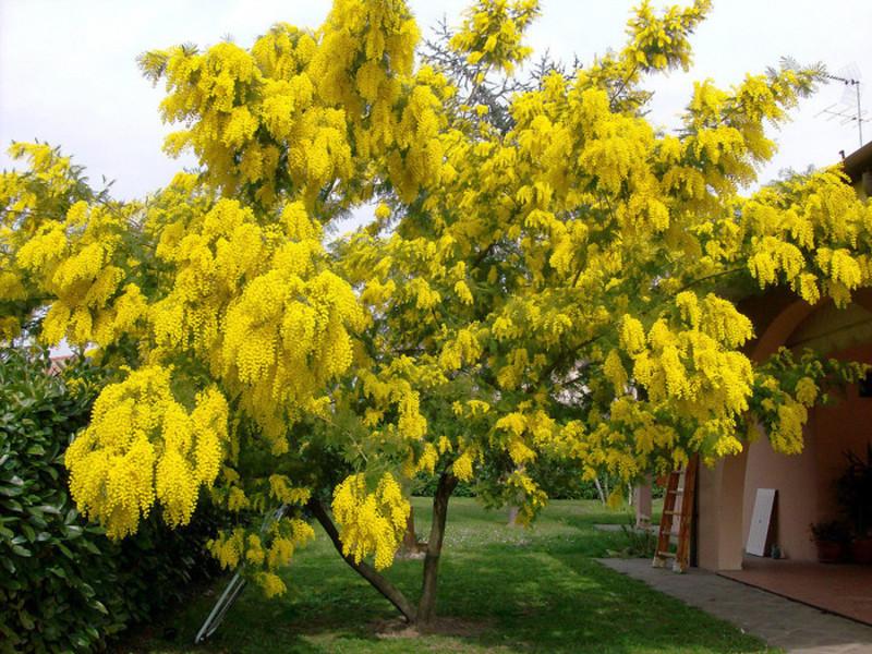 Фото мимозы цветы