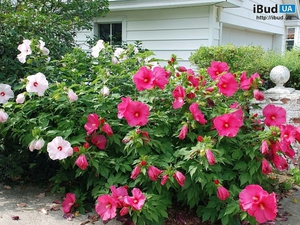 Фото гибискуса садового - яркие цветы.