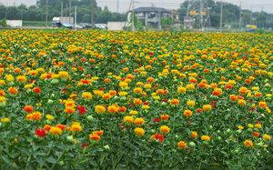 Выращивание сафлора в фермерском хозяйстве - поле в цветах.