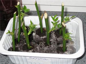 Как посадить черенки роз из букета