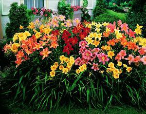 Как сочетаются лилейники в саду