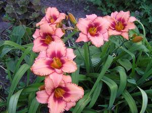 Растение лилейники