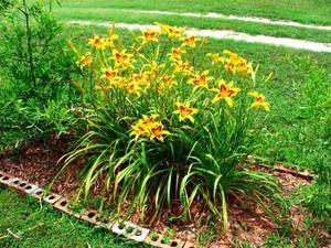 Период цветения лилейников