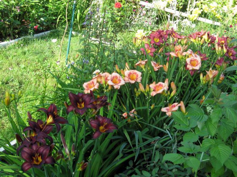 Лилейники посадка и уход в саду