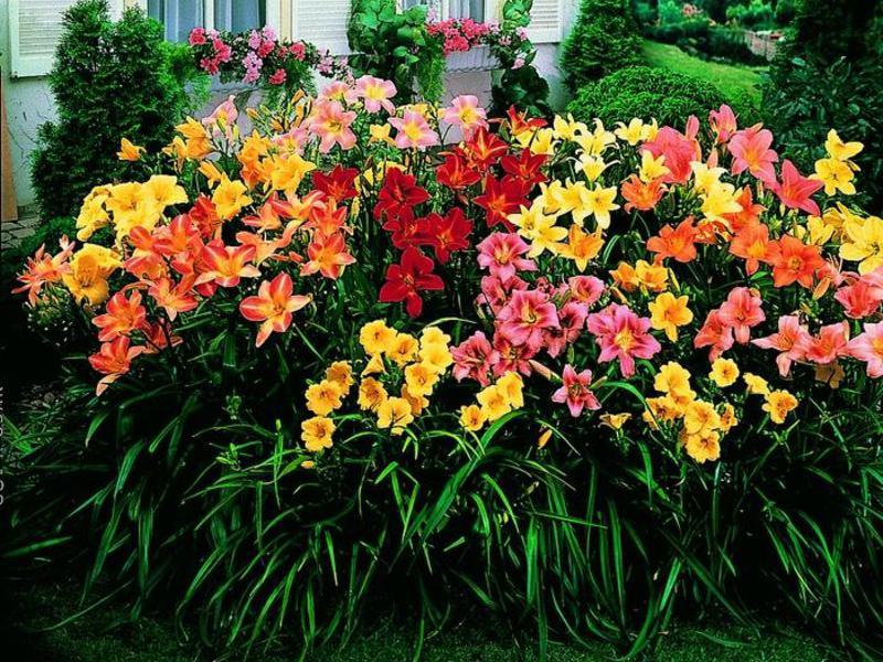 С какими цветами сочетаются лилейники 59