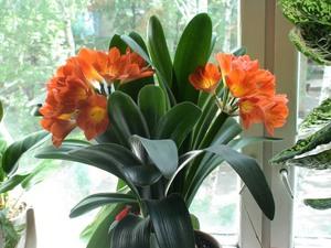 Домашняя лилия в горшке: фото, как 79