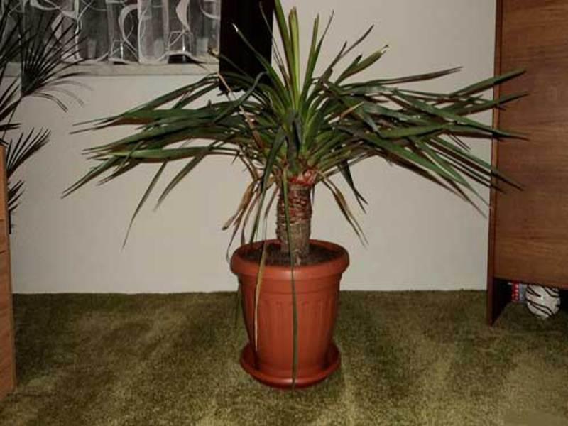 Цветок драцена как ухаживать в домашних условиях
