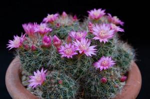 Маммиллярия Зейльмана в горшке цветет достаточно часто.