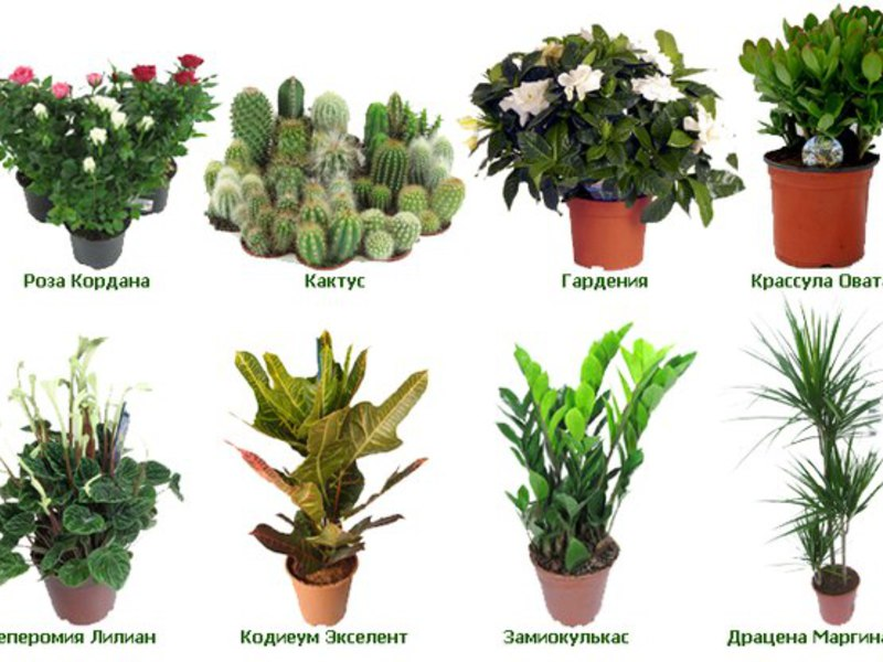 комнатные цветы графии и названия