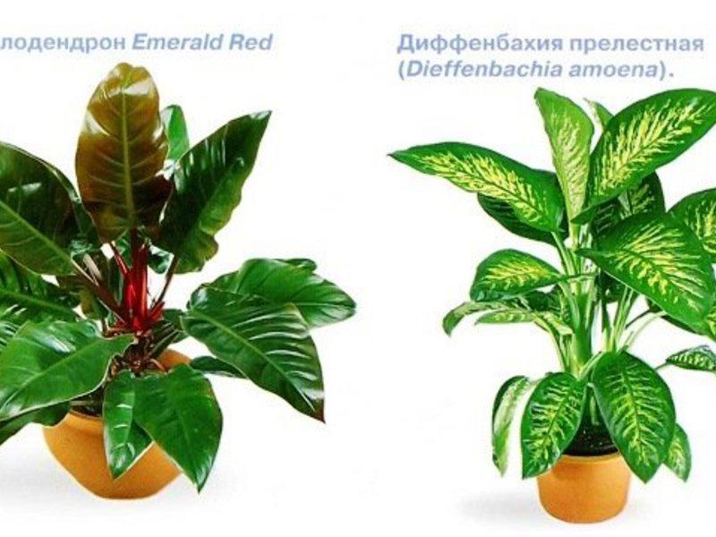 Тенелюбивые цветы и другие комнатные растения
