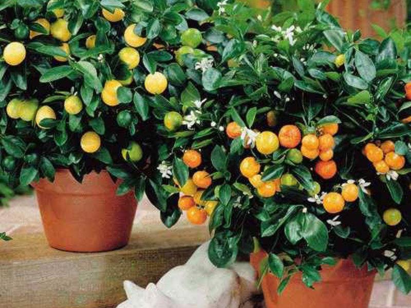 Плодоносящие комнатные растения - это интересно