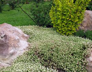Седум - красивый цветок, фото растения
