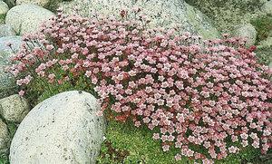 Можжевельник - это очень распространенное растение