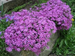 Шиловидные флоксы цветут очень яркими цветами.