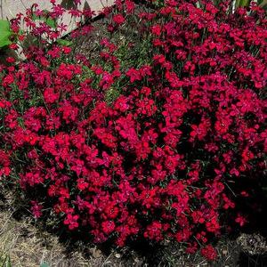 Гвоздика травянка - яркие красные цветы.